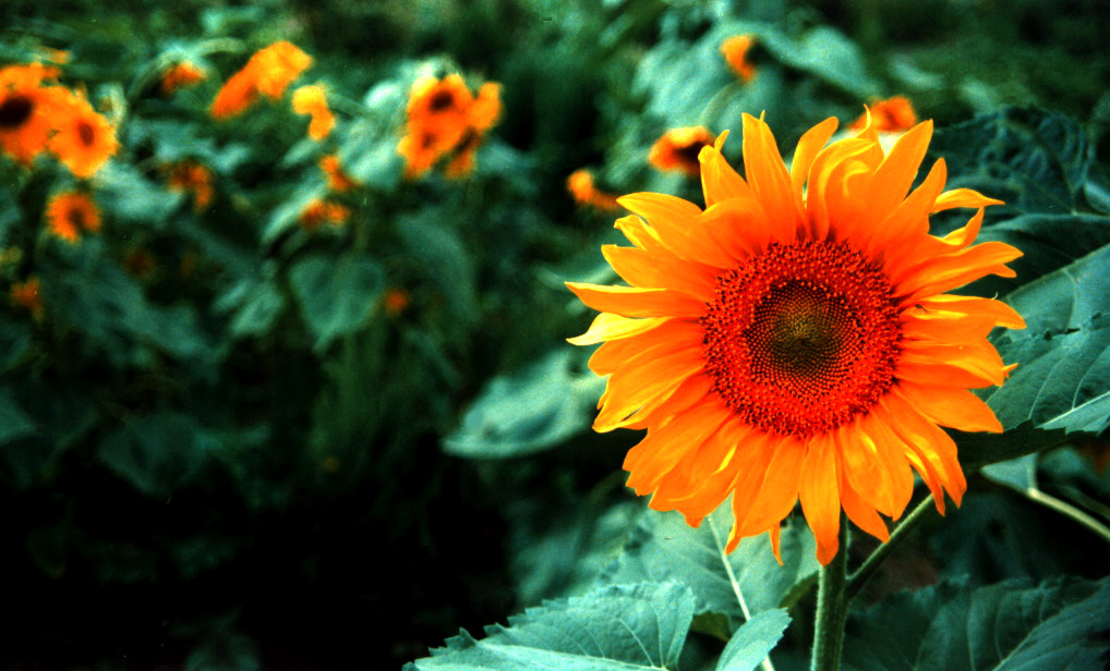 Çiçek Resimleri (1. Katalog)